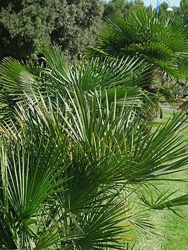 chamaerops-humilis-hardy-fan-palm-80cm