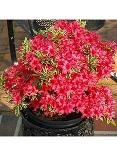 rhododendron-bollywood-3l