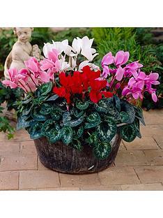 flowering-cyclamen-6-plants-in-105cm-pots