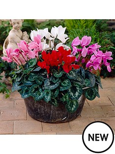 flowering-cyclamen-6-plants-in-105cm-pots