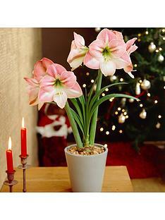 xxxl-giant-amaryllis-appleblossom-bulb-4244cm