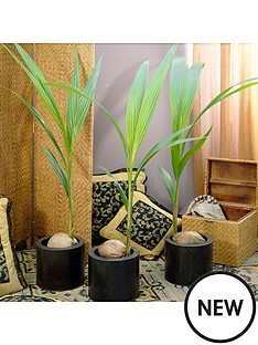 cocos-nucifera--coconut-palm-tree-3l