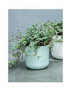 ivyline-real-pilea-glauca-plant-in-pot