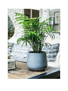 ivyline-real-parlour-palm-plant-in-pot