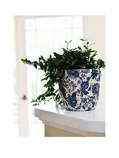 ivyline-real-green-ivy-plant-in-blue-white-pot